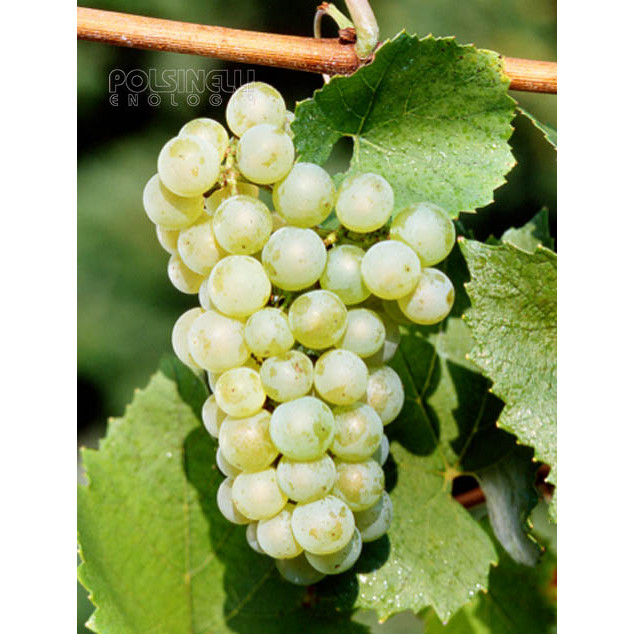 Verdicchio (10 pcs)